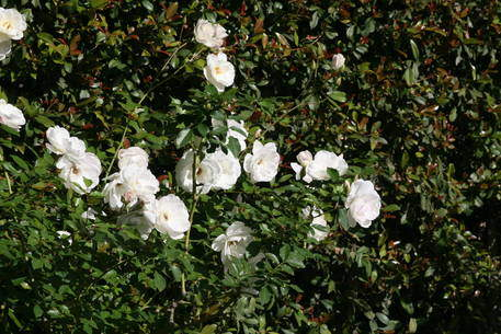 Fruit, Rose & Ornamental Tree Pruning